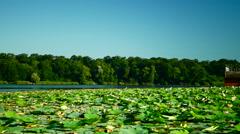 Lotus Leaves And Flowers (Nelumbo Nucifera) On Lake Stock Footage