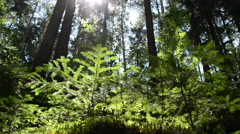 Sun and pines - stock footage