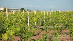 Trellis Vineyard Stock Footage