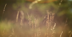 Atmospheric and relaxing view of a golden grass, girl passing by - stock footage