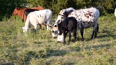Texas Longhorn Cattle Grazing Stock Footage