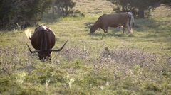 Texas Longhorn Cattle at Sunset - stock footage