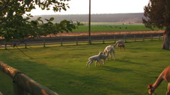 YOUNG ALPACAS PLAY IN PASTURE Stock Footage