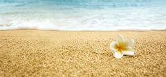 Tropical flower Plumeria alba (White Frangipani) on sandy beach Stock Photos