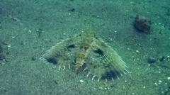 Helmut flying gurnard (Dactylopterus volitans) Stock Footage