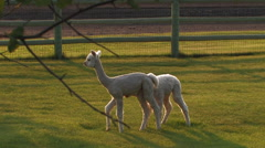 YOUNG WHITE ALPACAS GRAZE AND PLAY IN PASTURE Stock Footage