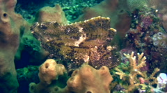 Leaf scorpionfish (Taenianotus triacanthus) brown Stock Footage