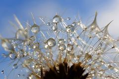 Dewy dandelion flower Stock Photos