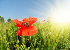Red poppy in green wheat field. - stock photo