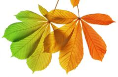 Autumn leaves of chestnut tree (Aesculus hippocastanum)  - stock photo