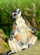 Lemur catta Stock Photos