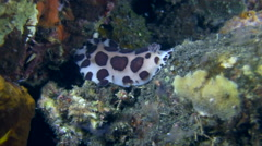 Nudibranch (Jorunna sp.) Stock Footage