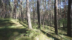 Pine Forest Anashensky bor 04 Stock Footage