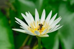 Bee and Lotus Flower - stock photo