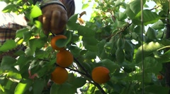 Picking ripe Kyoto apricots from a tree Stock Footage