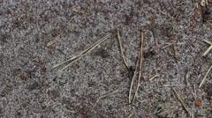 Worker ants of the genus Formica Rufa 3 - stock footage