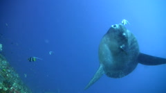 Oceanic sunfish (mola-mola) being cleaned by bannerfish - stock footage
