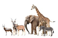 Giraffe, Elephant, Zebra, Blesbok antelopes and Kudu  - stock photo