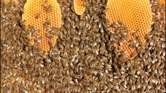 Stock Video Footage of Building instinct bees. Bees build honeycombs.