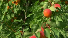 Trees full of ripe apricots Stock Footage