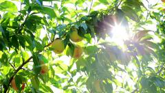 Sun shines through the branches of peach tree. Stock Footage