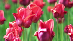 Close-up View of Colorful Tulips Swaying on Wind Stock Footage