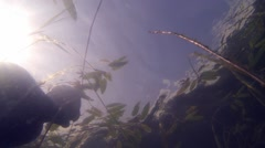 Snorkeler swimming throug floating Water smartweed (Persicaria amphibia) leaves Stock Footage