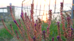 Wild sage (Salvia) flowers Stock Footage