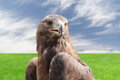 Golden eagle strong raptor bird against cloudy sky and grass - stock photo
