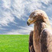 Vertical profile portrait of golden eagle over sky and grass - stock photo