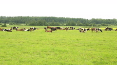 Stock Video Footage of herd of cows resting in a meadow of green grass