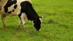 Stock Video Footage of white with dark spots cow eating grass on a green meadow