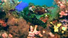 Nudibranch (Nembrotha cristata) Stock Footage