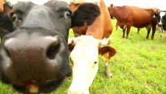Stock Video Footage of dark head cow pokes his snout into the camera, close-up
