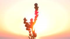 Wild grass at sunset on wind macro Stock Footage