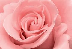 Stock Photo of The beautiful rose flower delicate light pink color closeup..