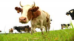 Stock Video Footage of white cow looking at the camera, view from below