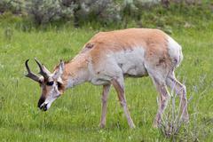 Antelope in the Wild. - stock photo