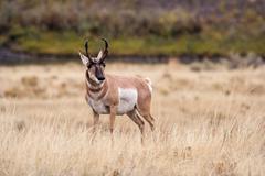 Antelope in the Wild. Stock Photos