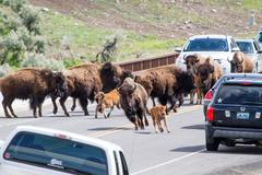 Bison in the Wild. - stock photo