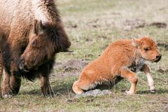 Bison in the Wild. Stock Photos