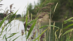 Reed grass on lake in summer Stock Footage