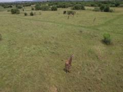 Aerial footage of Giraffe in Bush veld Stock Footage