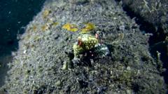 Nudibranch (Hypselodoris obscura) mating Stock Footage
