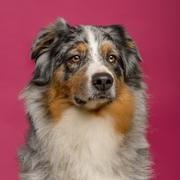 Close-up of an Australian Shepherd Stock Photos