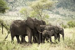 Herd of elephant, Serengeti, Tanzania, Africa - stock photo