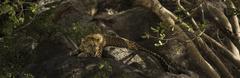 Leopard resting on rock, Serengeti, Tanzania, Africa Stock Photos
