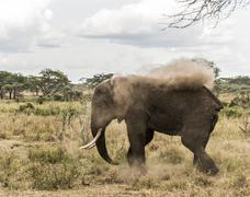 Elephant dust bathing, Serengeti, Tanzania, Africa Stock Photos