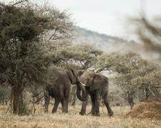 Young elephants playing, Serengeti, Tanzania, Africa - stock photo
