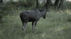 Moose Alone on Field Stock Footage